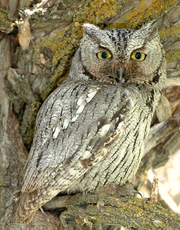 Owl Western Screech D-010.jpg