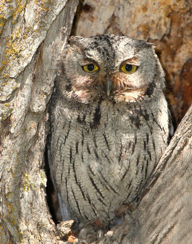 Owl Western Screech D-013.jpg