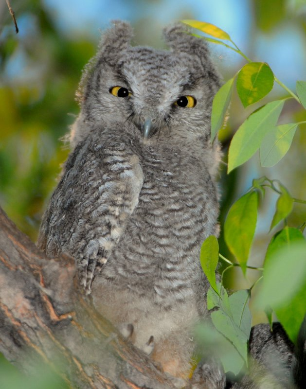 Owl Western Screech D-019.jpg