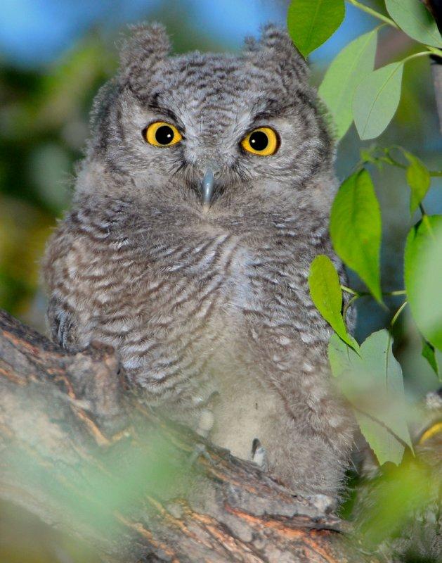 Owl Western Screech D-021.jpg