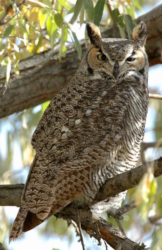 Owl  Great-Horned D-008.jpg