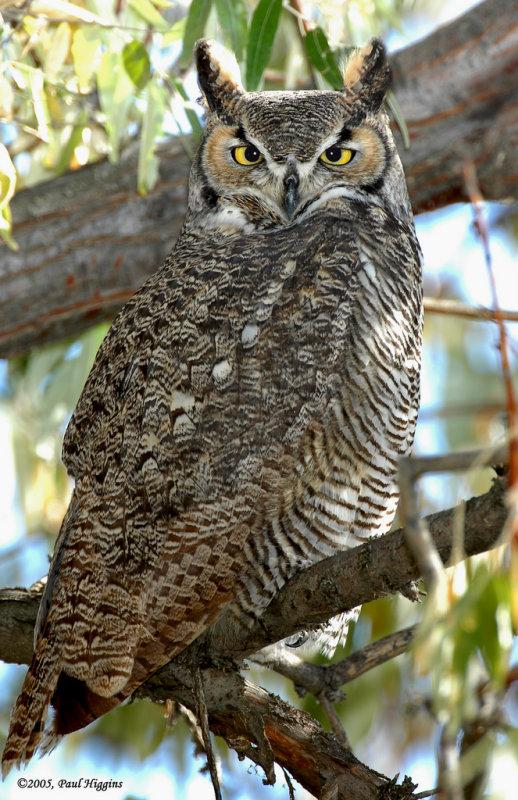 Owl  Great-Horned D-013.jpg