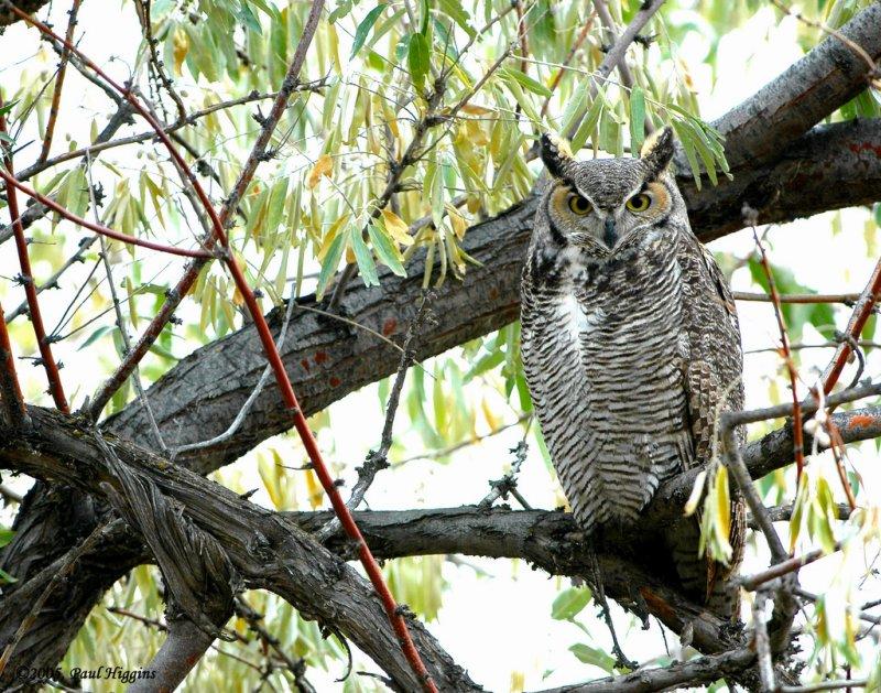 Owl  Great-Horned D-030.jpg