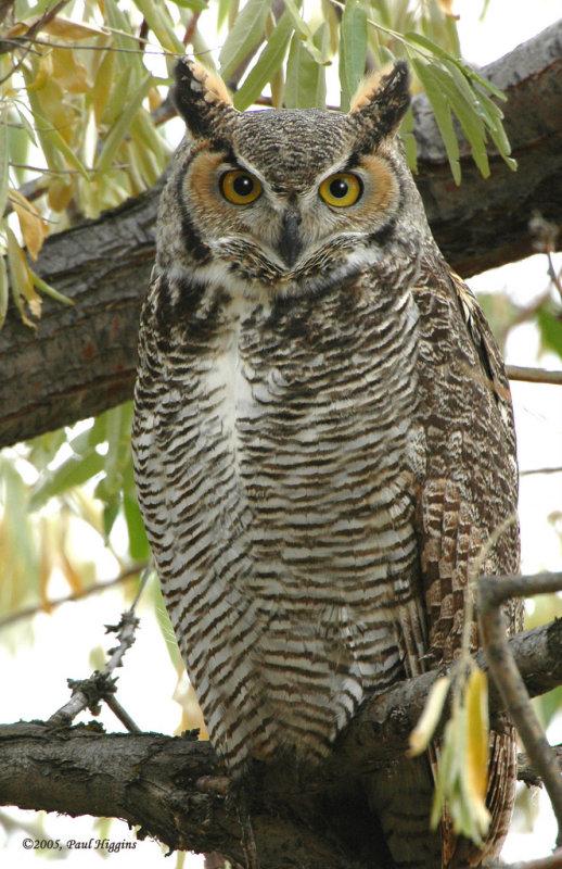 Owl. Great horned D-003.jpg