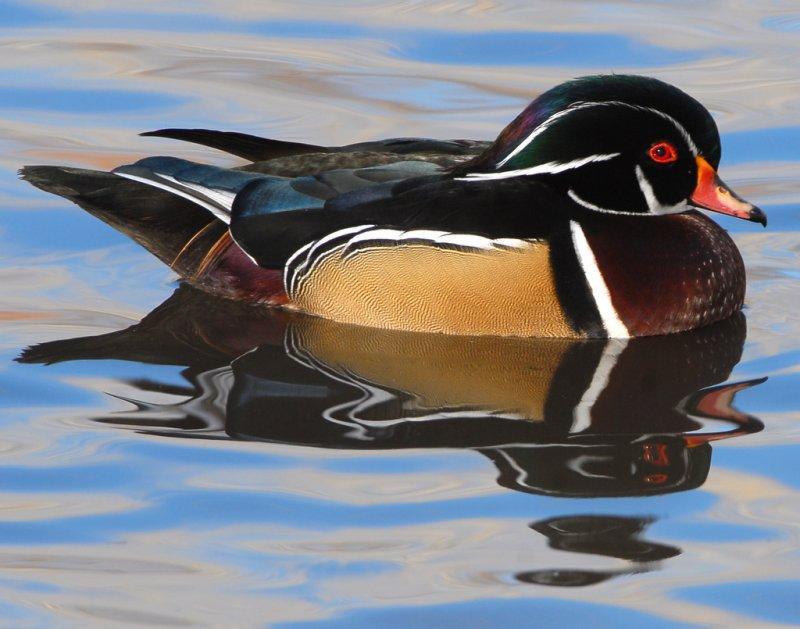 Duck Wood D-021.jpg