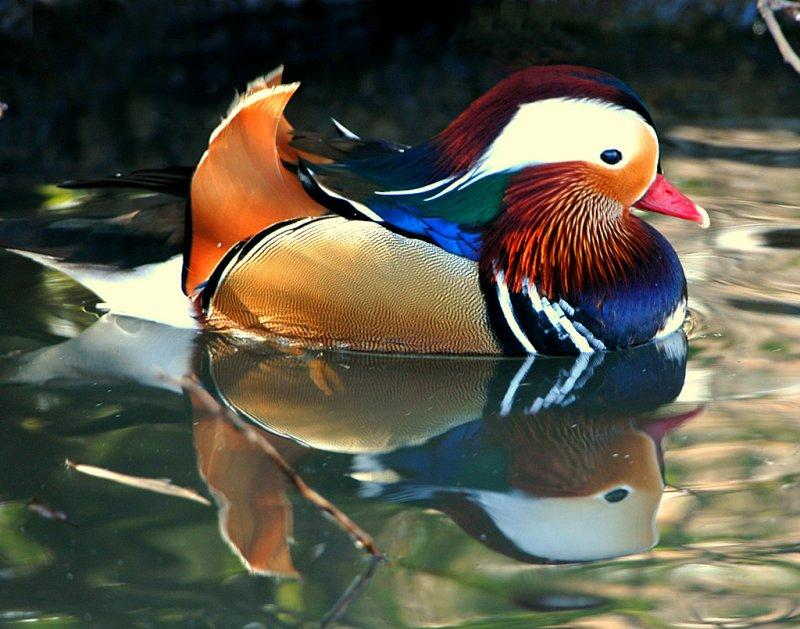 Duck, Mandarin