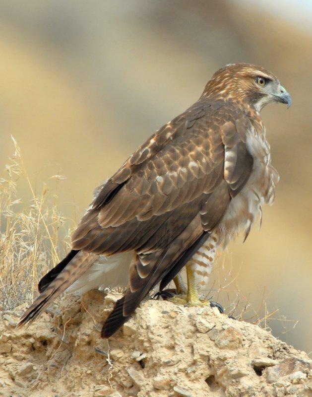 Hawk Redtailed D-040.jpg