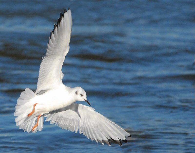 Gull Bonapartes D-013.jpg