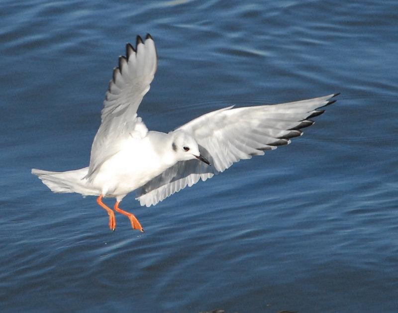 Gull Bonapartes D-002.jpg