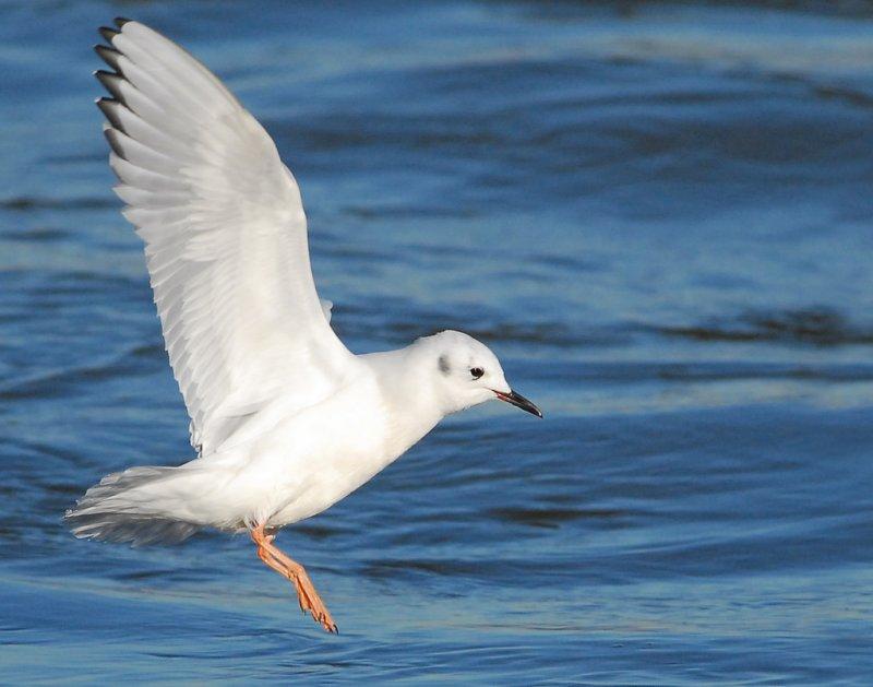 Gull Bonapartes D-015.jpg