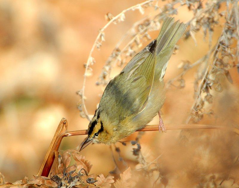 Warbler Worm-eating D-012.jpg
