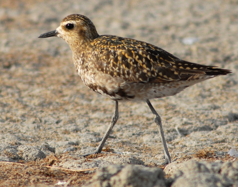 Plover , Pacific Golden D-096.jpg