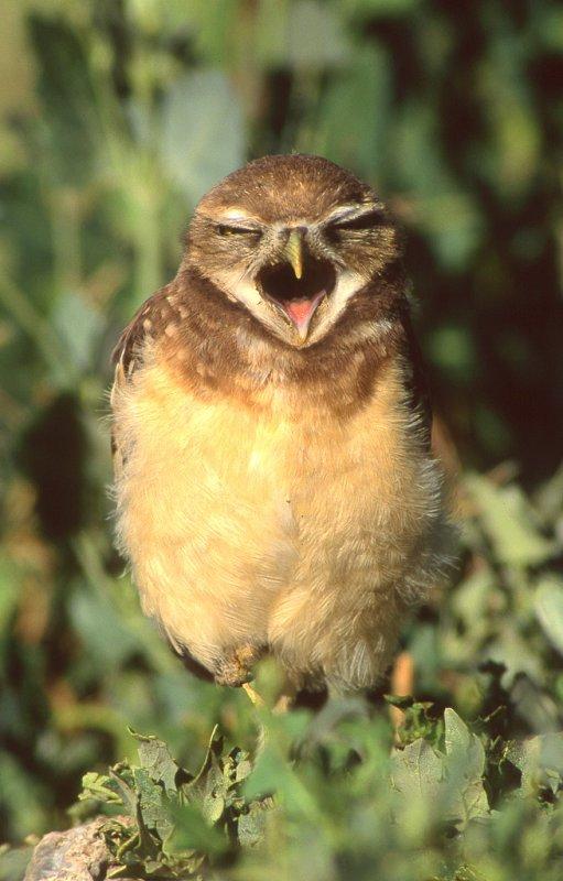 Owl Burrowing S-109.jpg