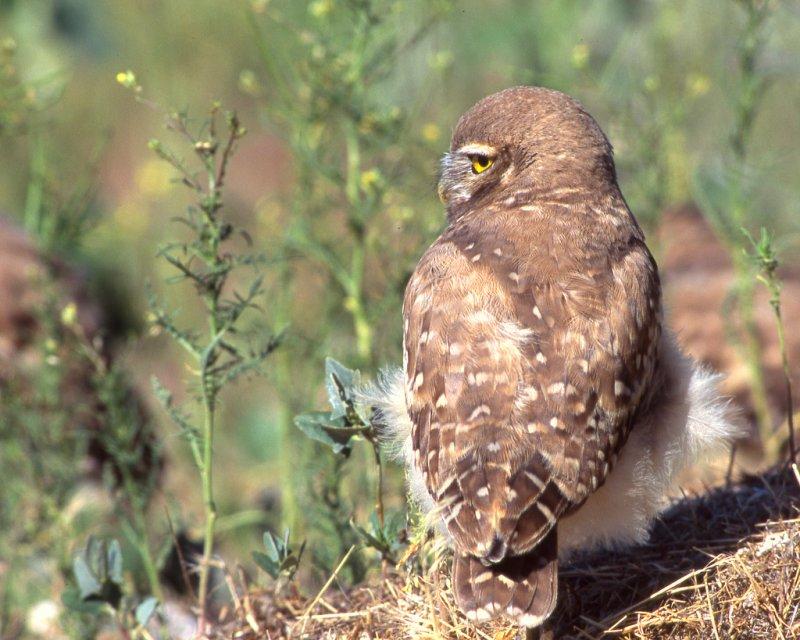 Owl Burrowing S-069A.jpg