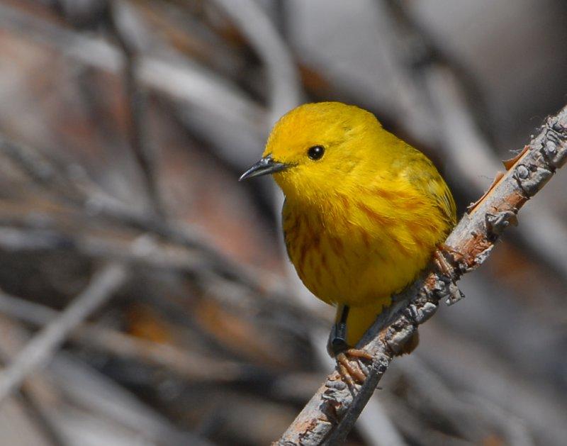 Warbler Yellow D-6.jpg