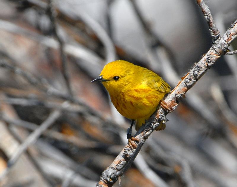 Warbler Yellow D-003.jpg