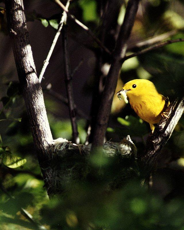 Warbler Yellow P-003.jpg