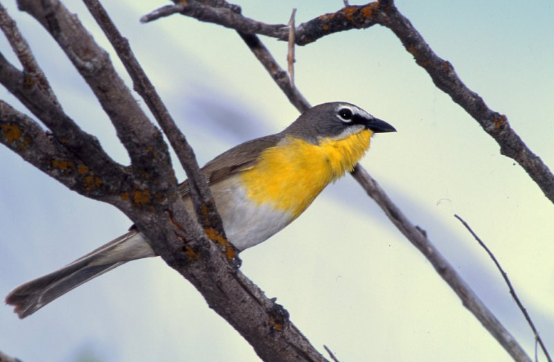 Chat Yellow Breasted S-206.jpg