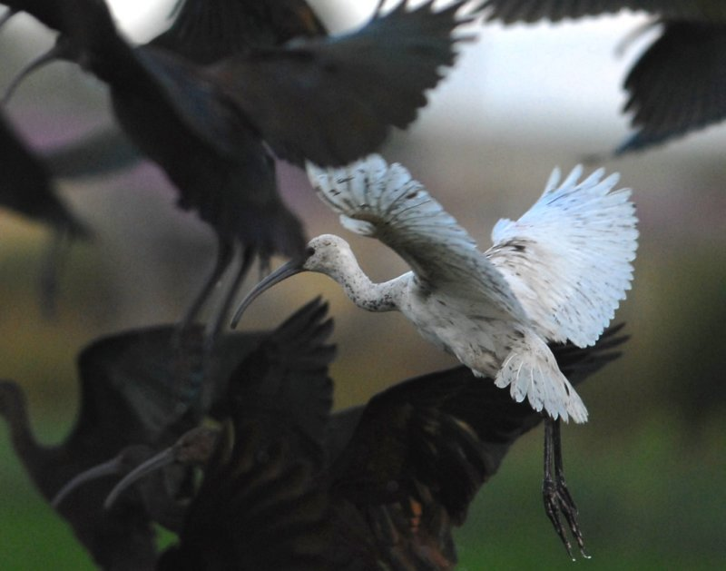 Ibis, ( leucistic) White-faced