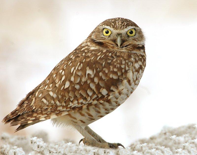 Owl. Burrowing D-2-5.jpg