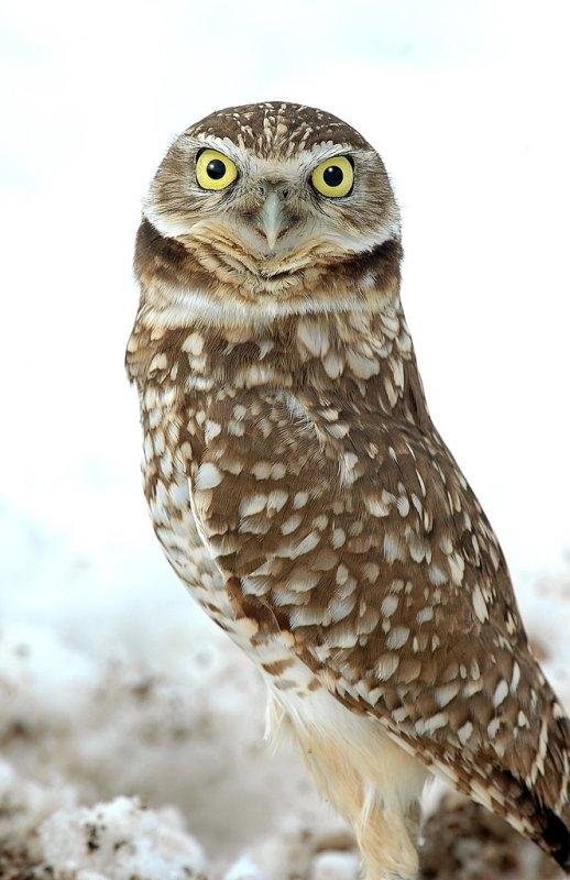 Owl. Burrowing D-2-8.jpg