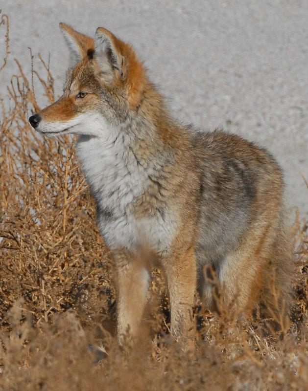 Coyote D-026.jpg