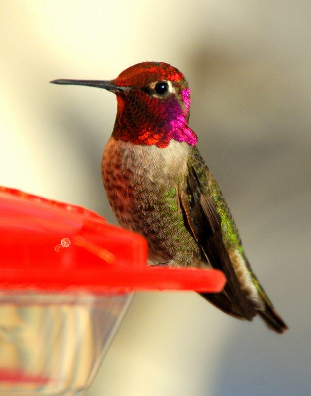 Hummingbird. Annas