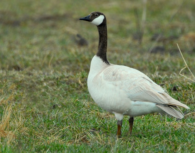 Goose, Canada D-023.jpg