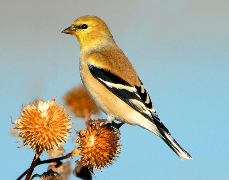 Goldfinch American D-031.jpg