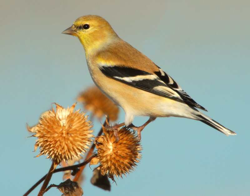 Goldfinch American D-032.jpg
