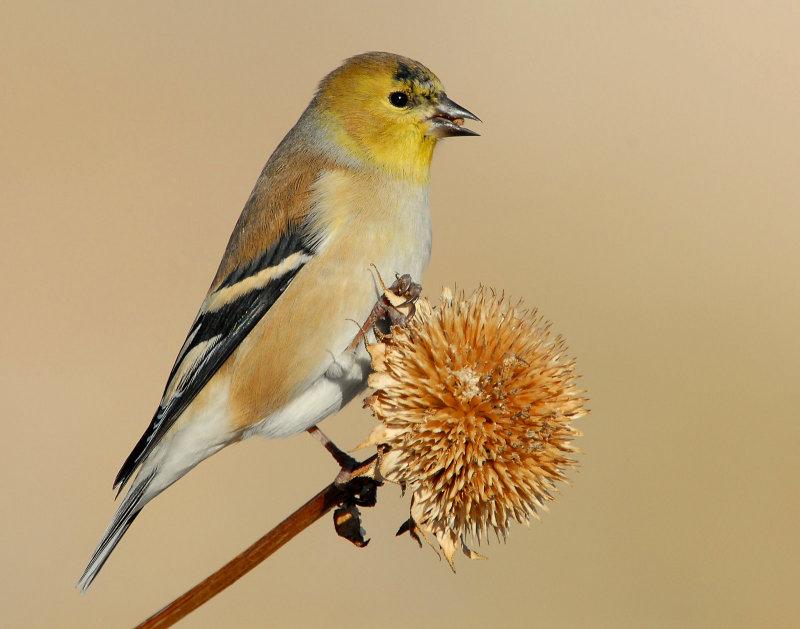 Goldfinch American D-014.jpg