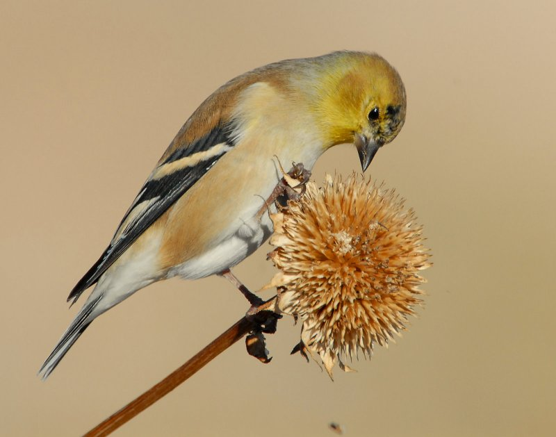 Goldfinch American D-015.jpg