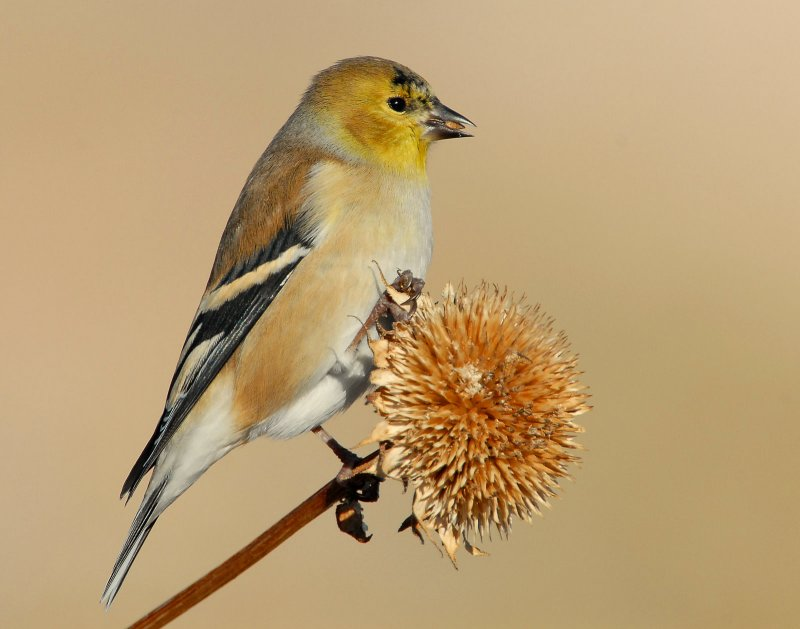 Goldfinch American D-016.jpg