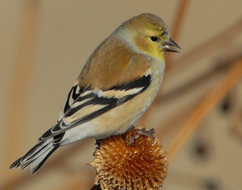 Goldfinch American D-027.jpg