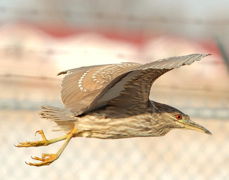 Night-Heron Black-crowned D-048.jpg