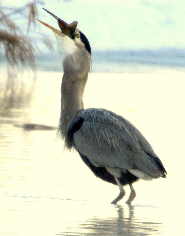 Heron Great Blue D-062.jpg