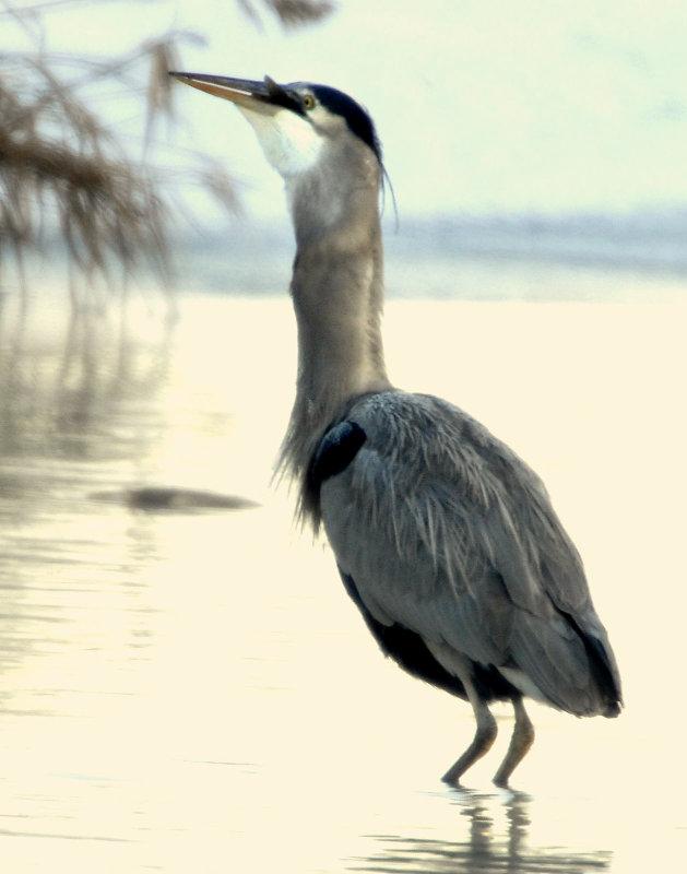 Heron Great Blue D-064.jpg