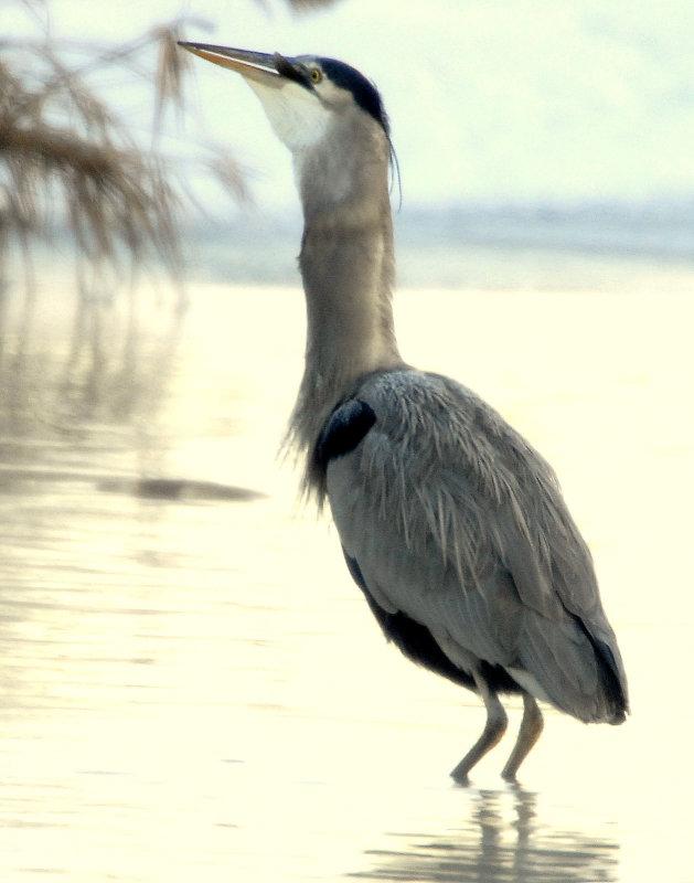 Heron Great Blue D-067.jpg