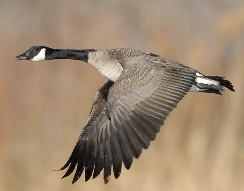 Goose, Canada D-043.jpg