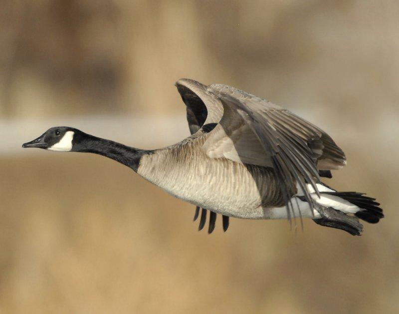 Goose Canada D-042.jpg
