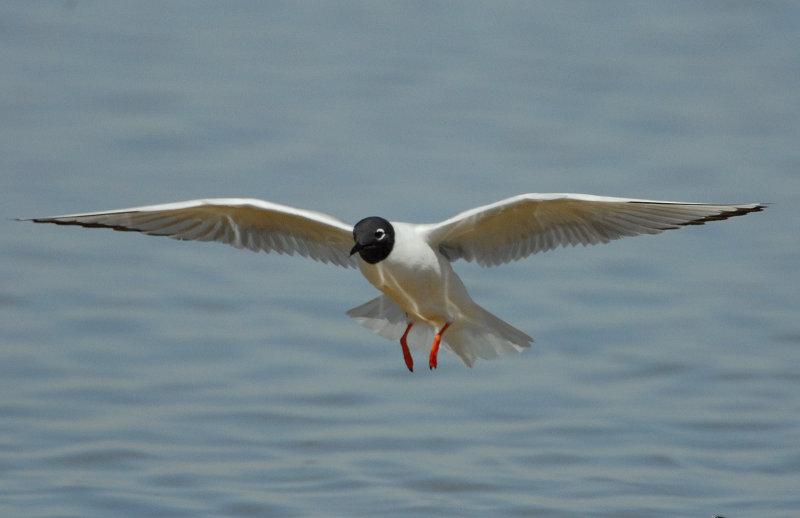 Gull Bonapartes D-027.jpg