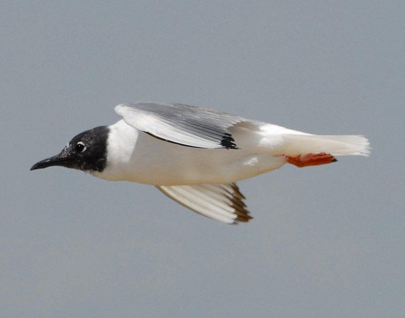 Gull Bonapartes D-035.jpg