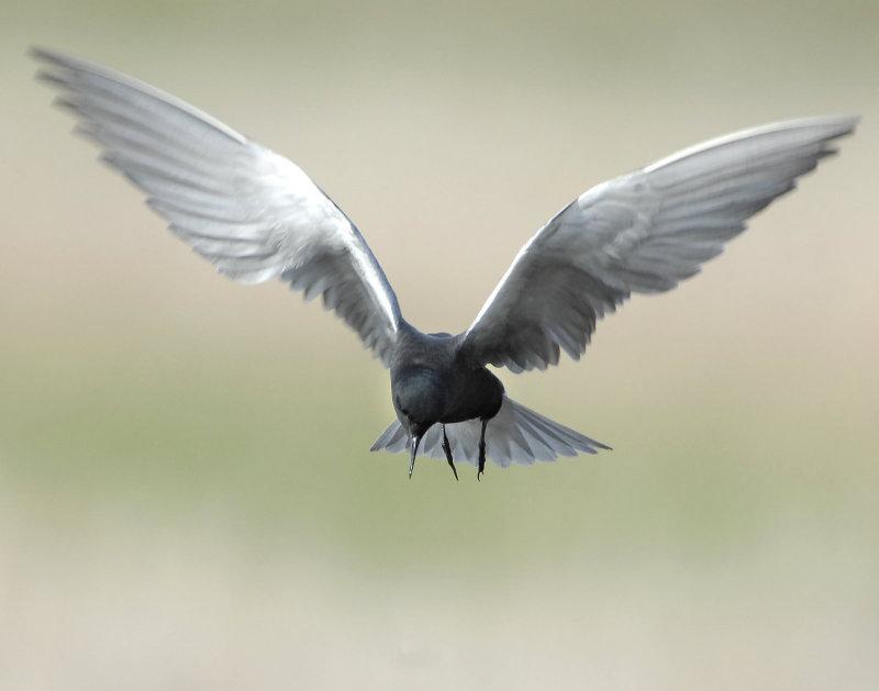 Tern BlackD-042.jpg