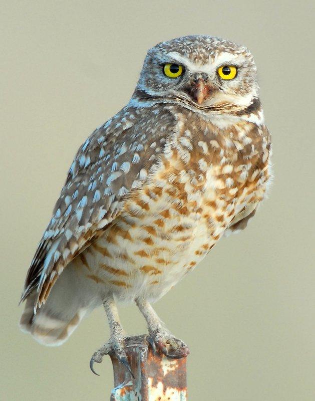 Owl Burrowing D-020.jpg