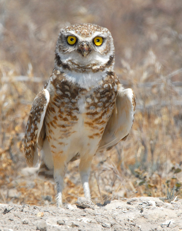 Owl Burrowing D-025.jpg