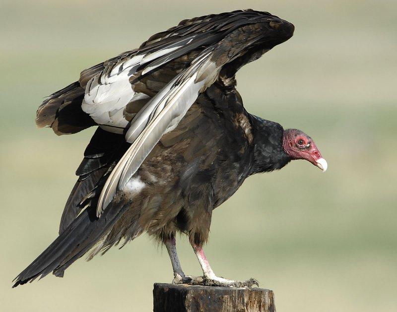 Vulture Turkey D-001.jpg