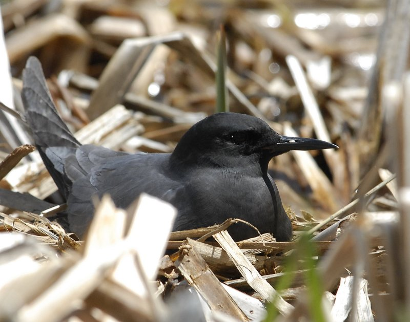 Tern BlackD-092.jpg