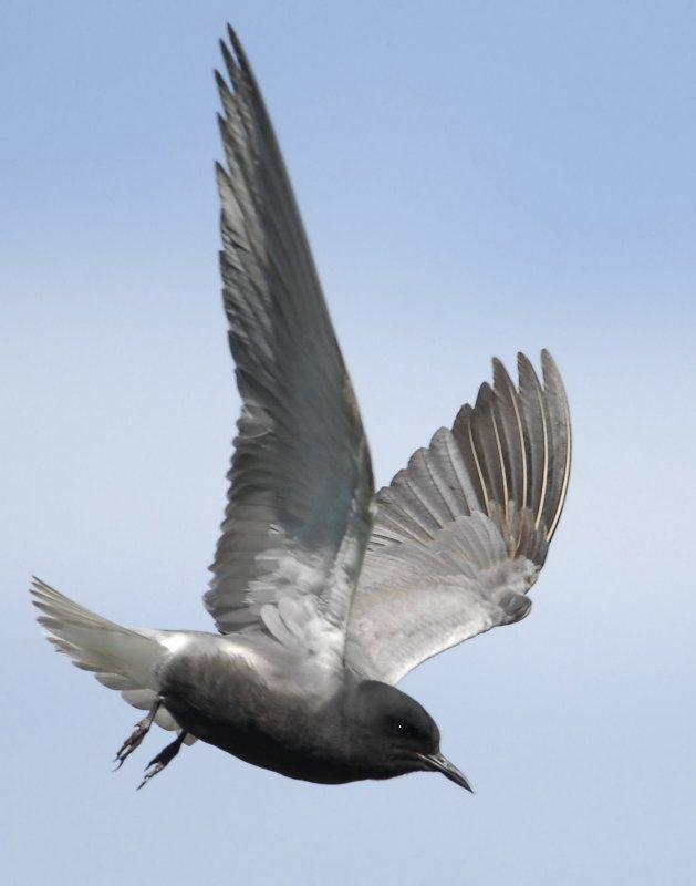 Tern BlackD-109.jpg
