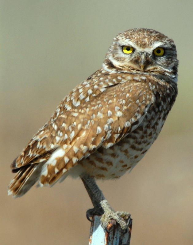 Owl Burrowing D-035.jpg
