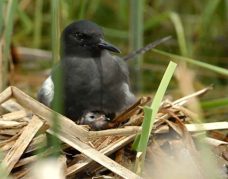 Tern BlackD-120.jpg